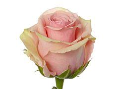 Pink Rose Geraldine