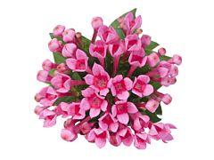 Bouvardia - hot pink