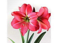 Amarylis Hot Pink