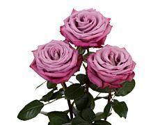 Lavender rose Moody Blue