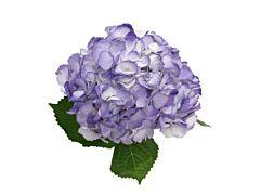 Hydrangea Tinted Lavender