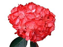 Hydrangea Tinted Red