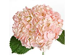 Hydrangea Tinted Light Pink