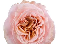 Garden Rose Dream Catcher