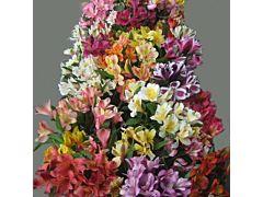 Alstroemeria Super Select Assorted