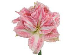 Amaryllis Pink Variegated