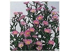 Aster Montecasino pink