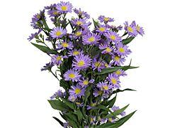 Aster Monark purple