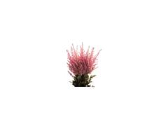 Astilbe - pink