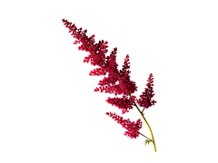 Astilbe - red