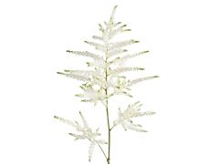 Astilbe - white