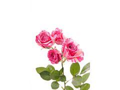 Spray Roses Pink Flash