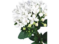 Bouvardia - white