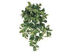 Bush Ivy
