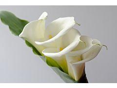 Calla lily white extra 90 cm