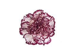 Carnation Arlecchino