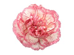 Carnation Armonia