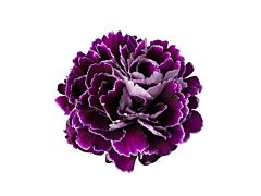Carnation purple