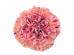 Carnation Vortex