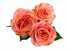 Garden Rose Coral xpression