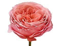 Garden Rose Romantic Anitque