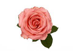Coral Rose Amsterdam