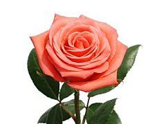 Coral Rose Movie Star