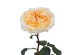 Garden Rose Beatrice