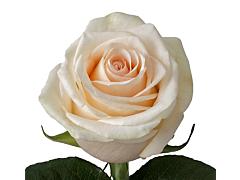 Cream Rose La perla