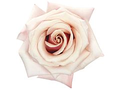 Cream Rose Mother of Pearl