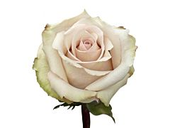 Cream Rose Quick Sand