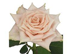 Cream Rose Sandy