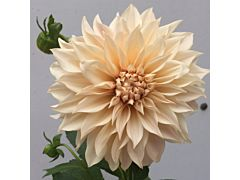 dahlias cafe au lait