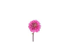 Dahlias hot pink