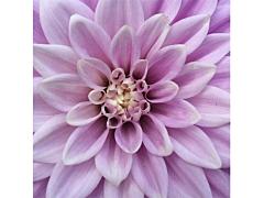 dahlias purple