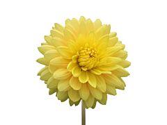 dahlias yellow