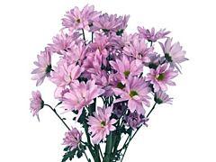 daisy poms — lavender