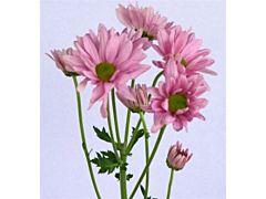 daisy poms — pink