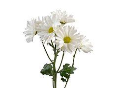 daisy poms — white