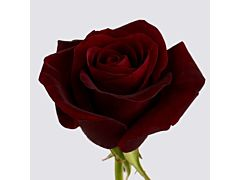 Dark Red Rose Black Magic