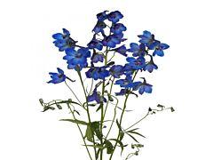 Delphinium hybrid - dark blue