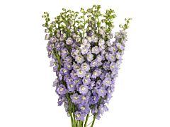 Delphinium hybrid - lavender