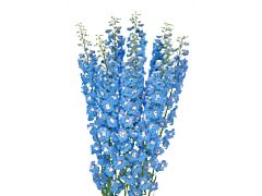 Delphinium hybrid - light blue