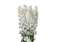 Delphinium hybrid - white