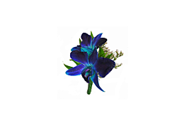 Dendrobium Blue