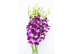 Dendrobium Purple Virigated