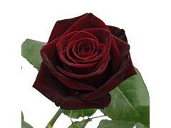 Dark Red Rose Black Bacara