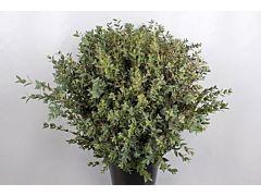 Eucalyptus Parvifolia