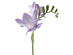 Freesias — lavender