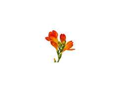 Freesias — orange